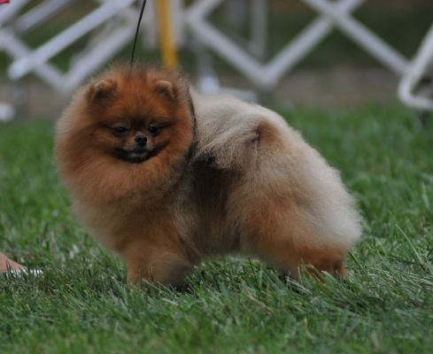 Go Back > Gallery For > Red Sable Pomeranian
